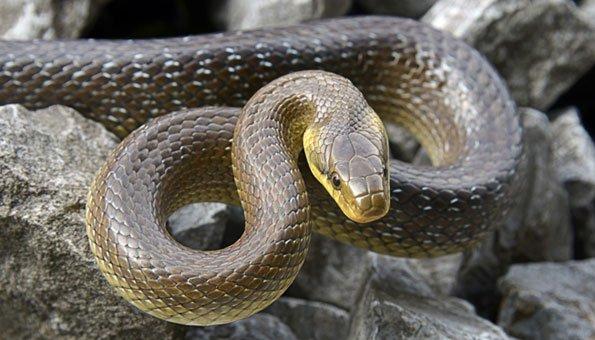 In der Schweiz sind Schlangen heimischer als gedacht.