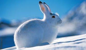 Der schlaue Schneehase weiss, wie Winter geht
