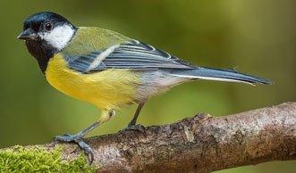 Welche Singvögel gibt es in der Schweiz und was macht sie aus?