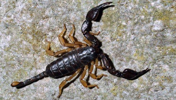 Skorpione in der Schweiz: Diese Arten sind hier heimisch