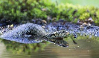 Wasserschlangen in der Schweiz: Diese 3 Arten sind hier zuhause