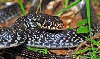 Zänkische Zornnatter: Wo und wie die Schlange in der Schweiz lebt