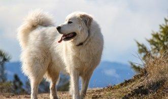Herden-Schutzhunde in der Schweiz: Tipps zum Umgang mit den Tieren