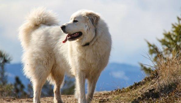 Warum Herdenschutzhunde so gute Hilfe leisten und was Wanderer wissen sollten.