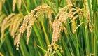 Neuer Gentech-Reis gegen Trockenheit gewappnet