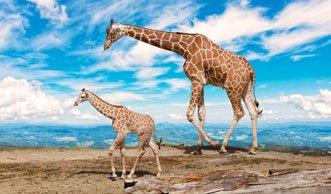 Neu auf der Roten Liste: Giraffen sind vom Aussterben bedroht