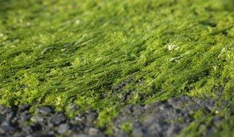 Strom aus dem Meer: Sind Blaualgen die Energiequelle der Zukunft?
