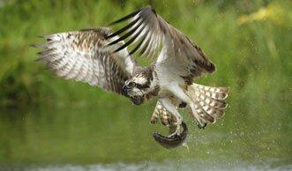 Nach 100 Jahren sollen Fischadler wieder in der Schweiz brüten