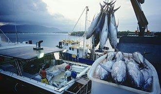 Zu viel Fischfang: Stirbt der Thunfisch deshalb jetzt aus?