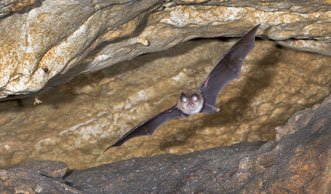 Fledermäuse in der Schweiz: Mehr als die Hälfte der Arten bedroht