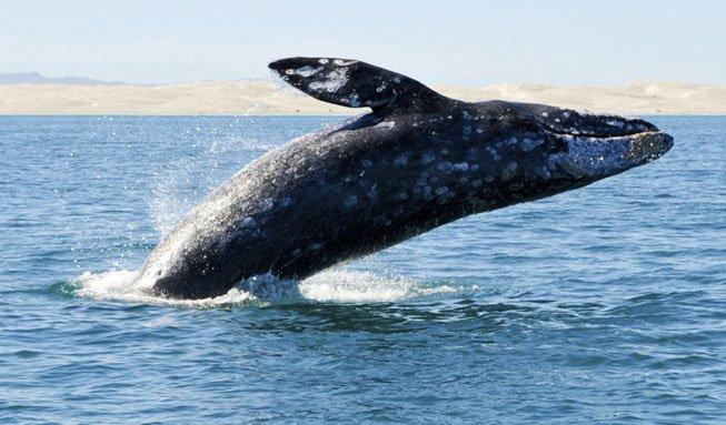 Um die halbe Welt: Grauwal ist Rekordschwimmer