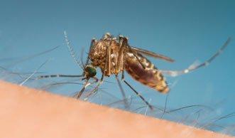 Mücken spüren Opfer mit schlauem System auf