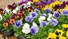 Schweizer Blumen sind voll von bienenschädlichen Pestiziden