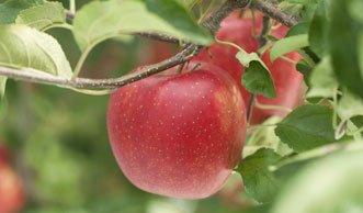 Über die Hälfte der Apfel-Plantagen mit Pestiziden belastet