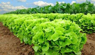 Salat soll dreimal umweltschädlicher sein als Fleisch