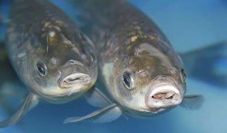 Neue Tests sollen Tierversuche mit Fischen ablösen
