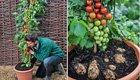 Doppelt ernten: Die neue «Tomtato» bringt Kartoffeln und Tomaten