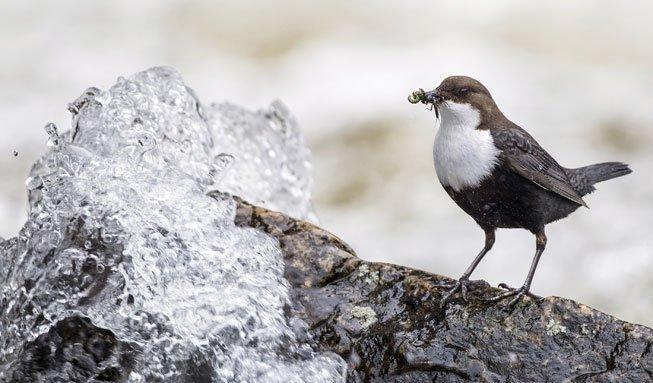 Wasseramsel ist Vogel des Jahres 2017