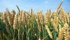 Test mit Gentech-Weizen in Zürich geplant