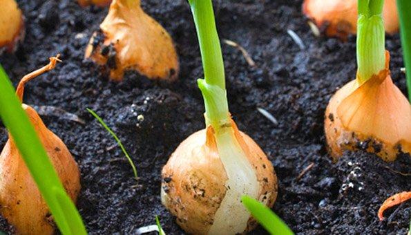Steckzwiebeln setzen statt Samen pflanzen