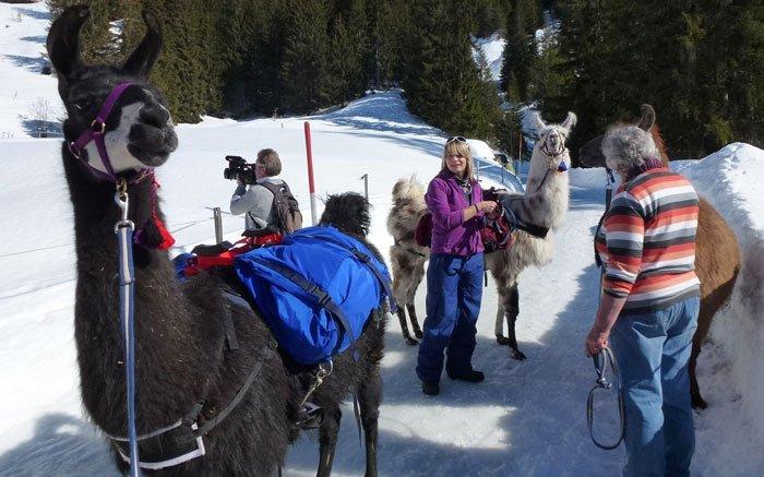 Durch das Berner Oberland mit tierischen Begleitern: Lamatrekking bei Gstaad