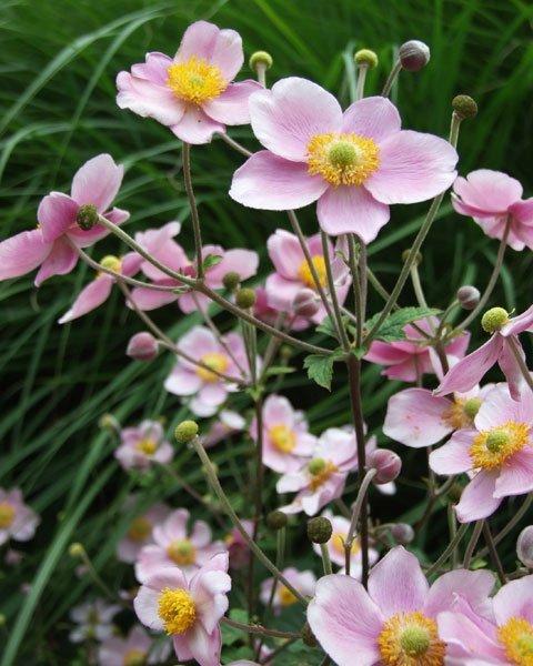 bild 2 herbstblumen wie die anemone sind pflegeleicht. Black Bedroom Furniture Sets. Home Design Ideas