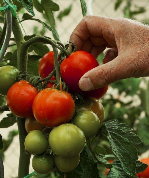 bild 17 tomaten anbauen die letzte ernte. Black Bedroom Furniture Sets. Home Design Ideas