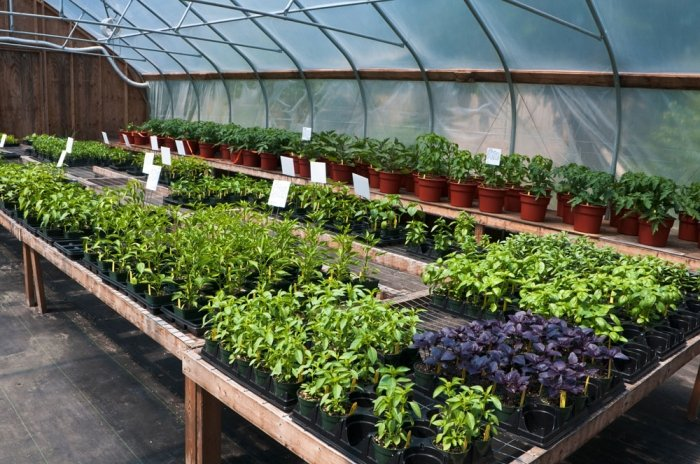bild 5 tomaten anbauen setzlinge k nnen auch im fachhandel gekauft werden. Black Bedroom Furniture Sets. Home Design Ideas
