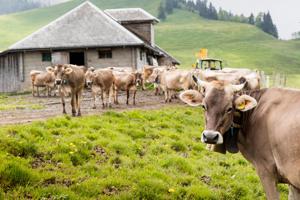 Kühe sind natürliche Landschaftspfleger