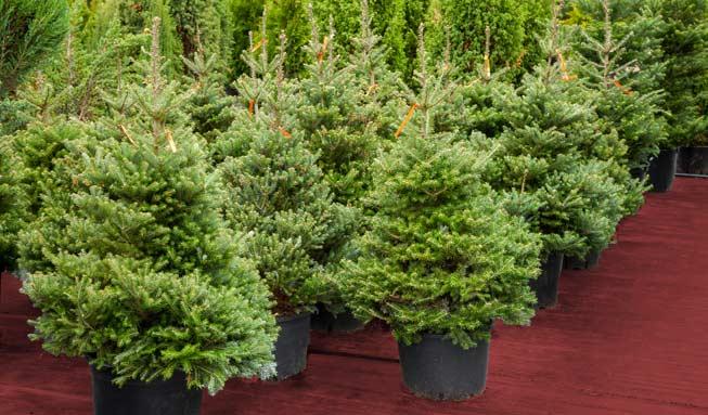Nachhaltige Bescherung: Einen Weihnachtsbaum im Topf mieten oder kaufen