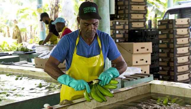 So sorgen Fairtrade-Bananen für bessere Löhne in Herkunftsländern