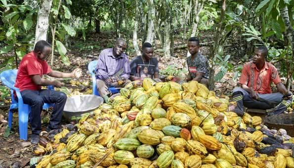 Kakaoernte in Ghana