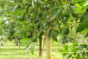 Avocadobaum auf einer Plantage