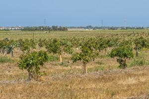 Avocadoplantage