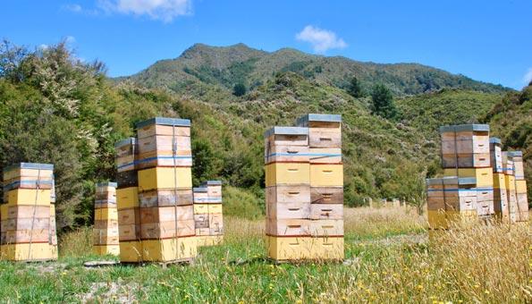 Manuka Honig: Wirkung und Anwendung des besonderen Bienenhonigs