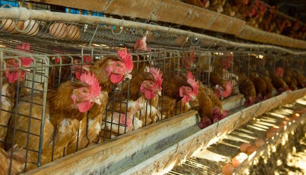Verbot von Legebatterien-Eiern: Beispiel für Fair-Food Initiative