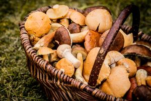 Pilze bestimmen und sammeln