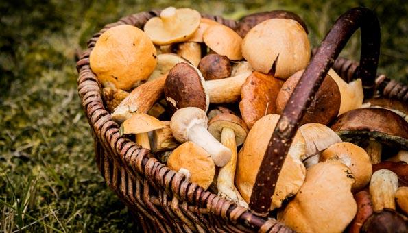 Pilze bestimmen: Wichtige Tipps zum Sammeln essbarer Pilze