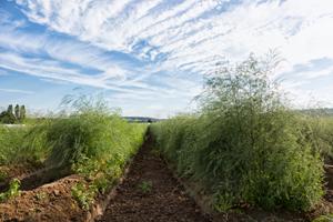 Das Grün der Spargelpflanze