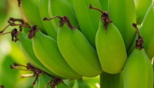 Noch grün werden Bananen gepflückt. Trotzdem sind sie gesund.
