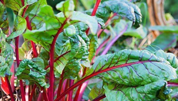 Krautstiel: Zubereitung der Schweizer Gemüsespezialität