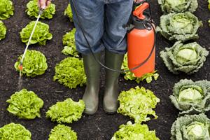 Salat wird mit Pestiziden behandelt.