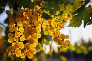 Pestizidrückstände an Trauben