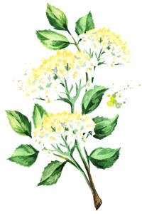 Feinen Sirup selber machen: Holunderblüte