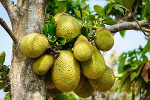 Unreife Jackfruits werden vom Baum geschlagen und als Fleischersatz verwendet