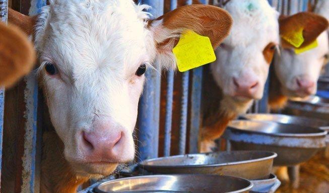 Unsere Kühe sollen klimafreundlicher werden