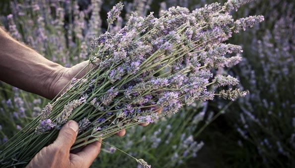 Lavendelöl: Wirkung, Anwendung und wie selber machen
