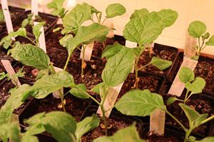Auberginen einzeln pflanzen in Töpfen