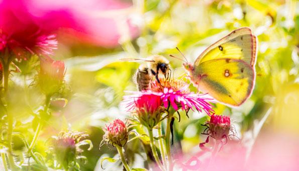 Artenvielfalt fördern: Diese Balkonblumen helfen Marienkäfer & Co