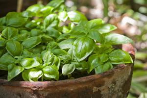 Kräuter vermehren: So pflanzen und Pflegen Sie Basilikum